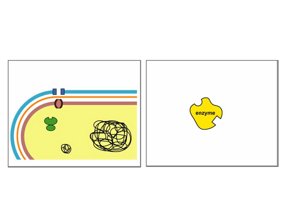 2. Perubahan target: situs reseptor dari bakteri diubah sehingga antibiotik tidak dapat berikatan Bakteri menjadi resisten terhadap makrolida (eritrom