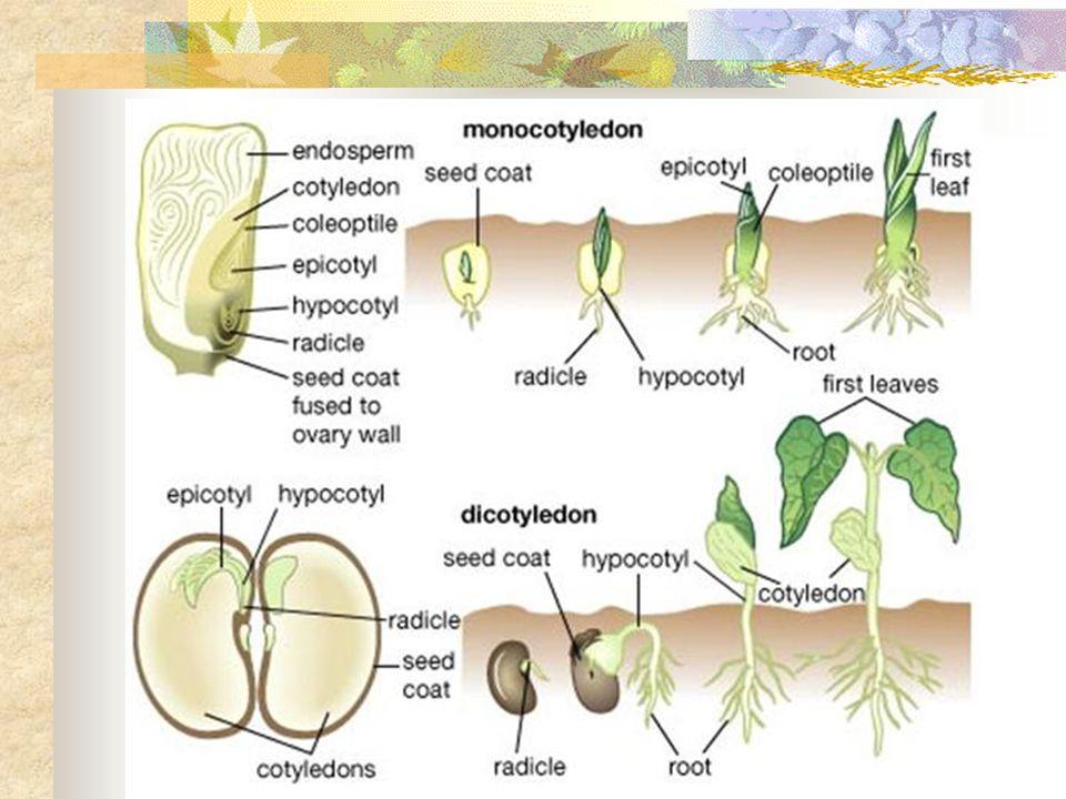 Pada biji terdapat calon tumbuhan baru (lembaga) dan putih lembaga (endosperm).
