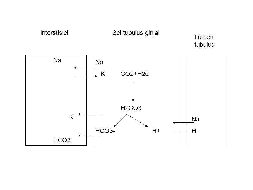 Sel tubulus ginjal Na KCO2+H20 H2CO3 HCO3- H+ Na H Na K HCO3 Lumen tubulus interstisiel