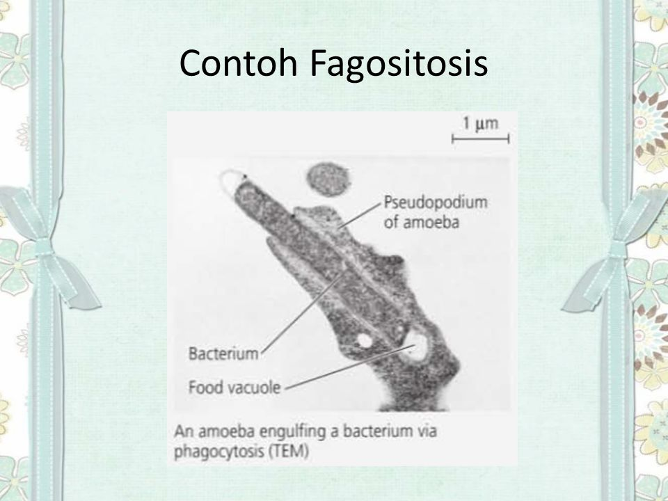 Contoh Fagositosis