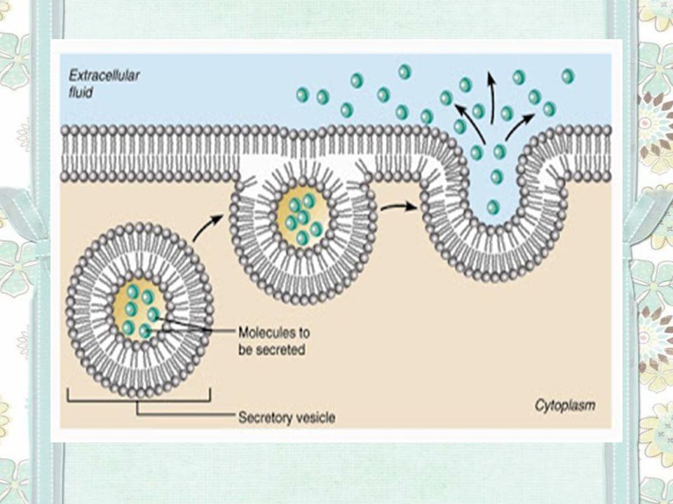 Contoh Pinositosis Salah satu organisme yang melakukan pinositosis adalah Amoeba proteus yang melakukan pinositosis terutama untuk mengabsorpsi nutrisi dalam bentuk cairan.