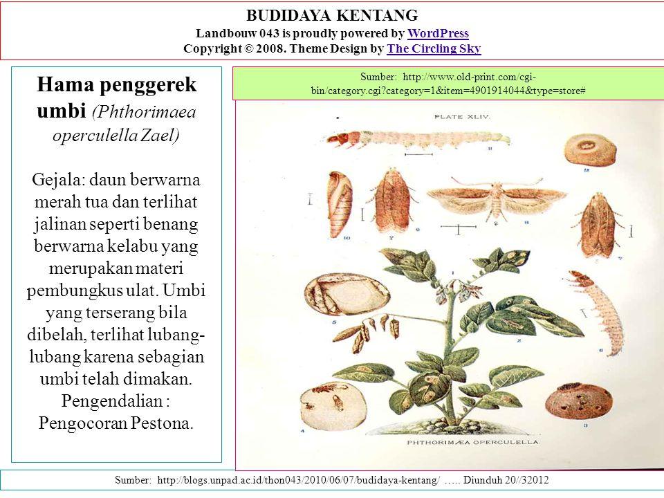 Hama penggerek umbi (Phthorimaea operculella Zael) Gejala: daun berwarna merah tua dan terlihat jalinan seperti benang berwarna kelabu yang merupakan