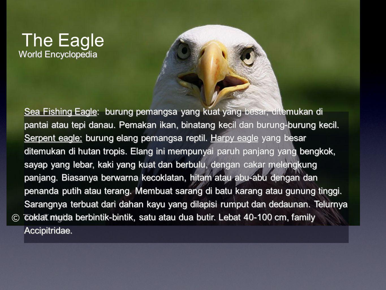 The Eagle Sea Fishing Eagle: burung pemangsa yang kuat yang besar, ditemukan di pantai atau tepi danau. Pemakan ikan, binatang kecil dan burung-burung