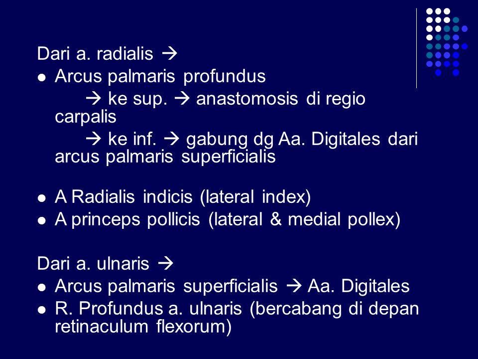 Dari a. radialis  Arcus palmaris profundus  ke sup.  anastomosis di regio carpalis  ke inf.  gabung dg Aa. Digitales dari arcus palmaris superfic
