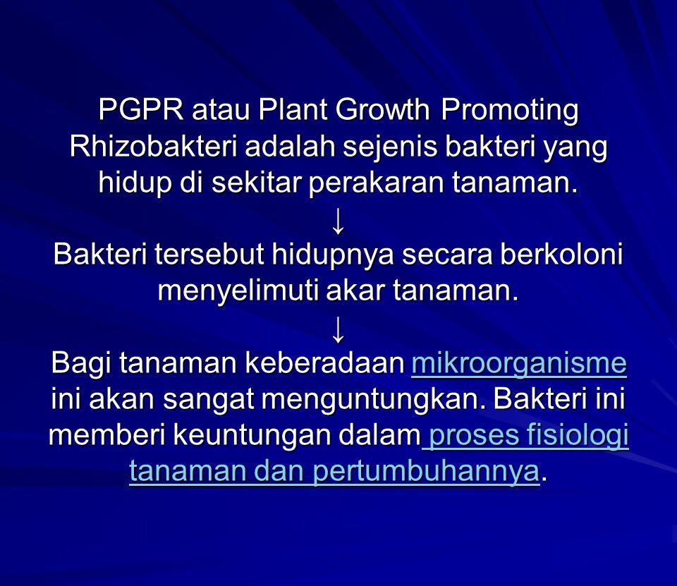 PGPR atau Plant Growth Promoting Rhizobakteri adalah sejenis bakteri yang hidup di sekitar perakaran tanaman. ↓ Bakteri tersebut hidupnya secara berko