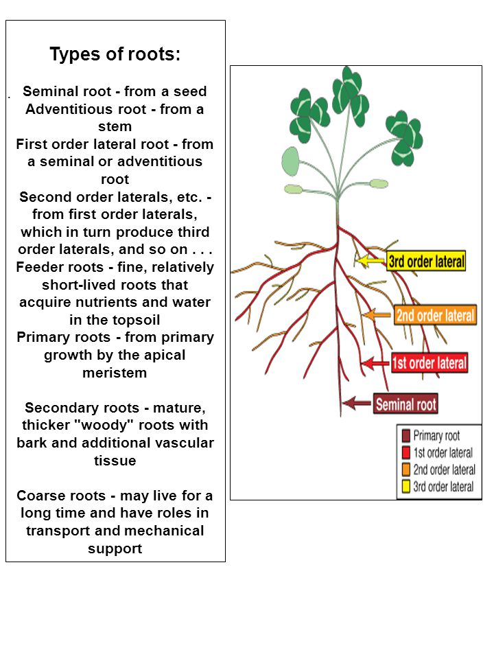 Types of roots: Seminal root - from a seed Adventitious root - from a stem First order lateral root - from a seminal or adventitious root Second order