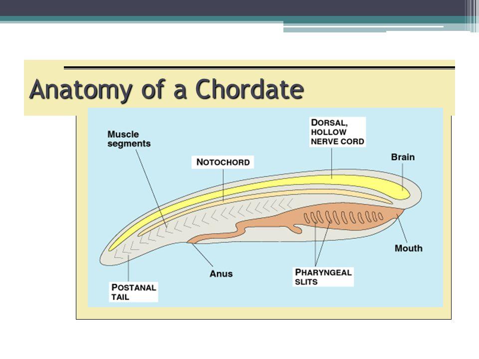 Anatomy of a Chordate