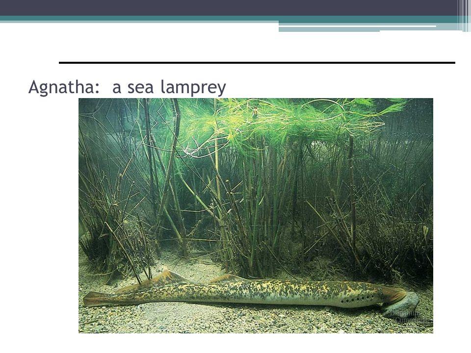 Lamprey mouth