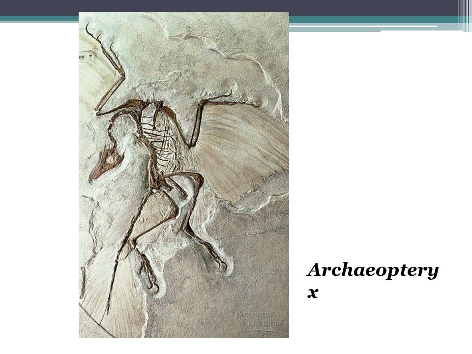 Archaeoptery x