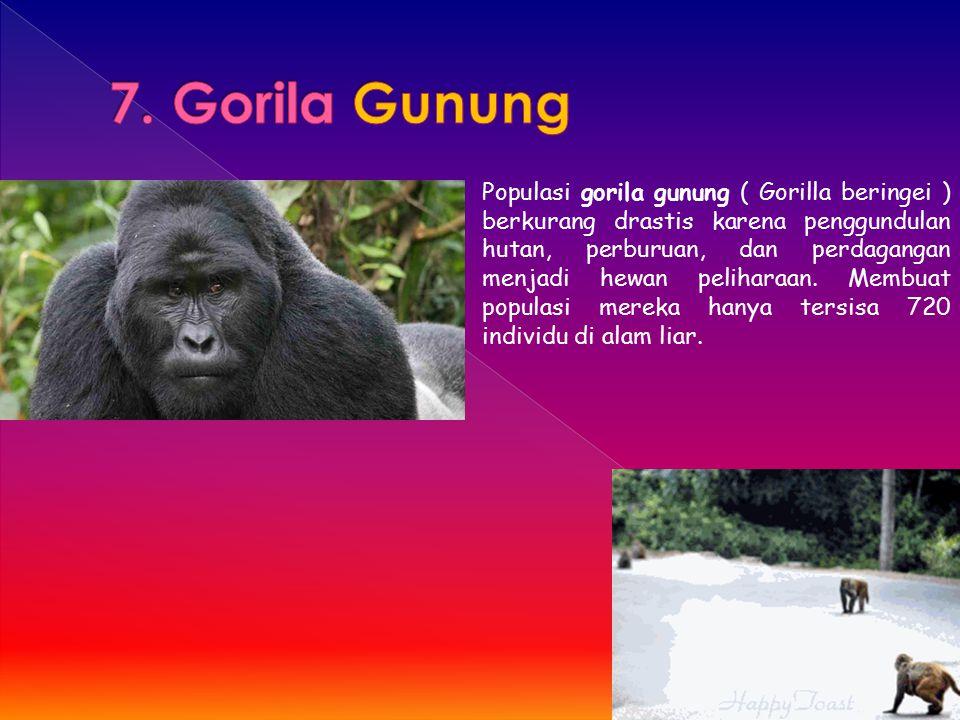 Populasi gorila gunung ( Gorilla beringei ) berkurang drastis karena penggundulan hutan, perburuan, dan perdagangan menjadi hewan peliharaan. Membuat