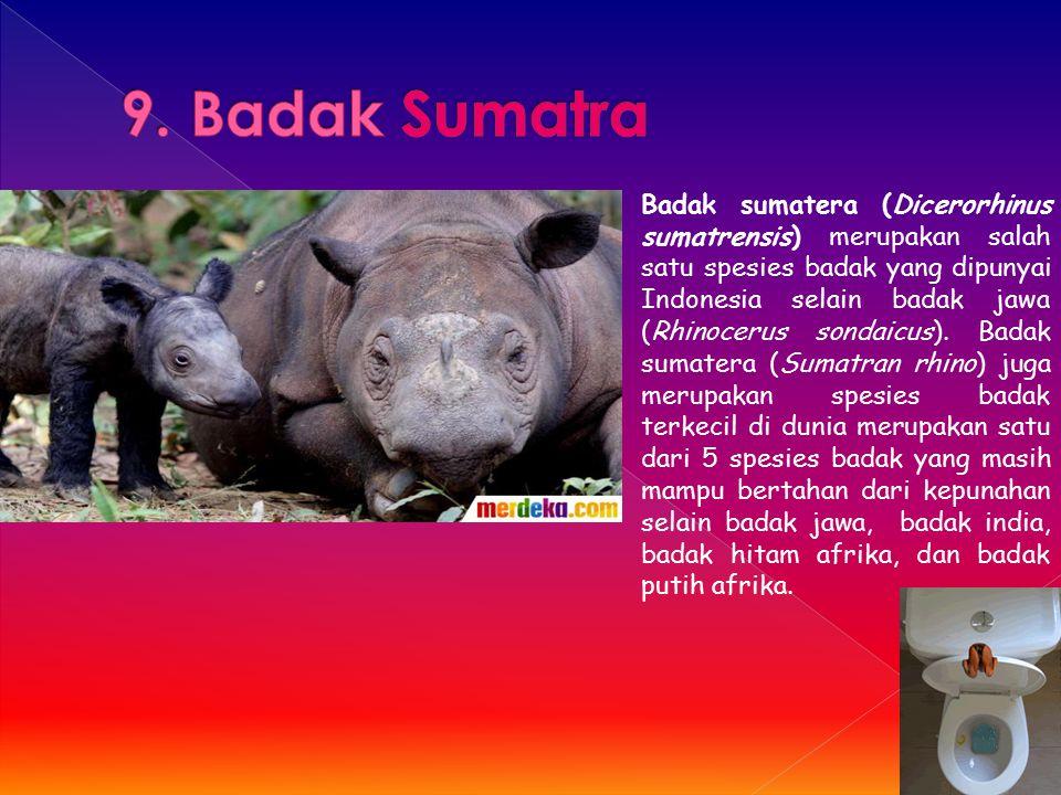 Badak sumatera (Dicerorhinus sumatrensis) merupakan salah satu spesies badak yang dipunyai Indonesia selain badak jawa (Rhinocerus sondaicus). Badak s