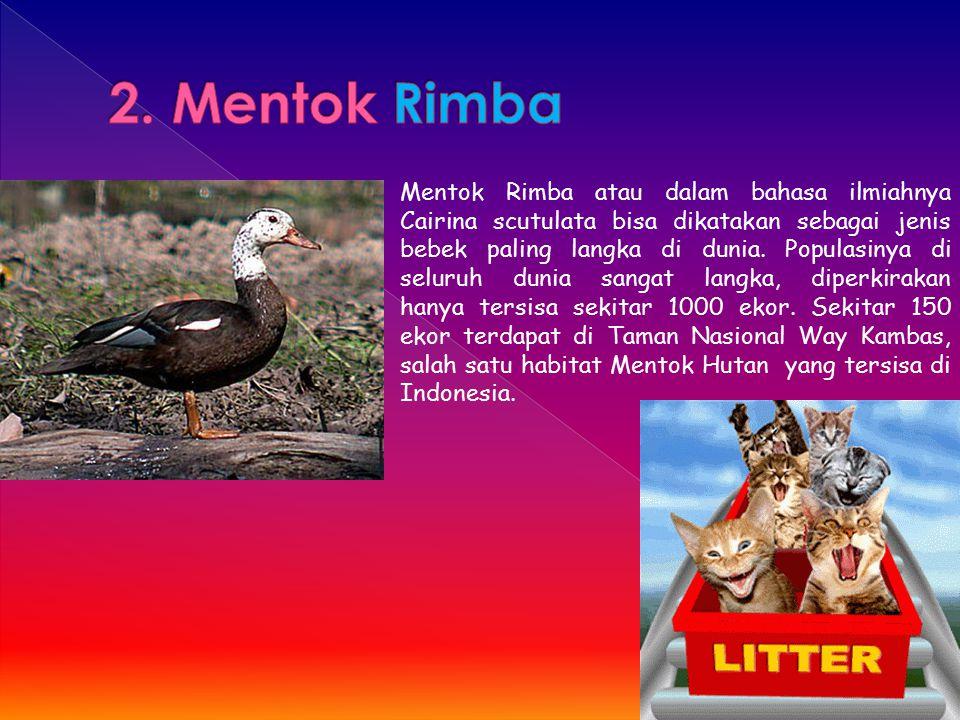 Mentok Rimba atau dalam bahasa ilmiahnya Cairina scutulata bisa dikatakan sebagai jenis bebek paling langka di dunia. Populasinya di seluruh dunia san