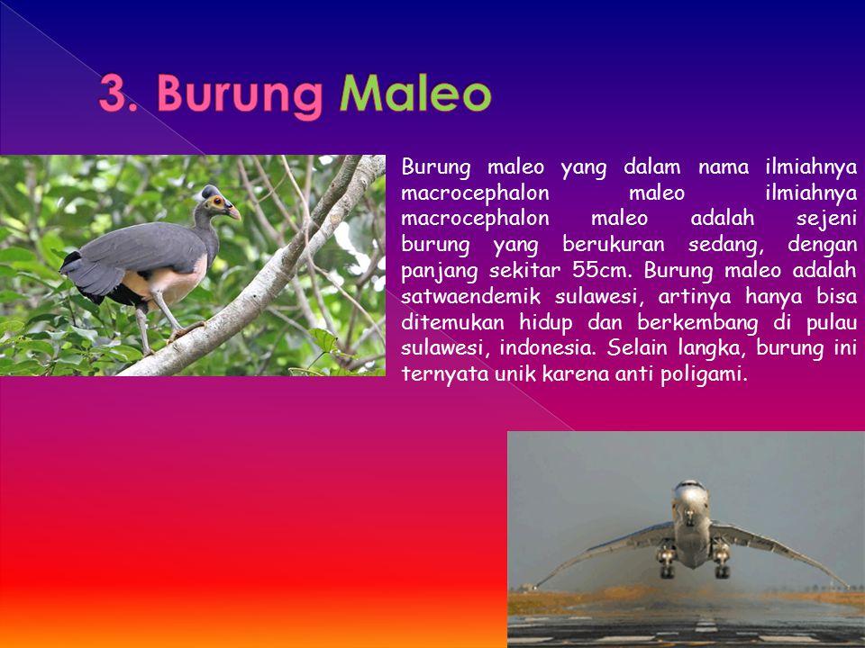 Burung maleo yang dalam nama ilmiahnya macrocephalon maleo ilmiahnya macrocephalon maleo adalah sejeni burung yang berukuran sedang, dengan panjang se