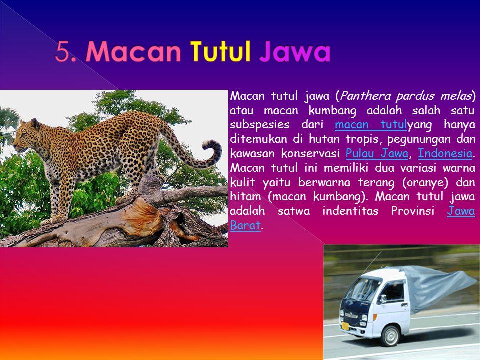 Macan tutul jawa (Panthera pardus melas) atau macan kumbang adalah salah satu subspesies dari macan tutulyang hanya ditemukan di hutan tropis, pegunun