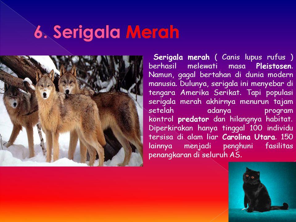 Serigala merah ( Canis lupus rufus ) berhasil melewati masa Pleistosen. Namun, gagal bertahan di dunia modern manusia. Dulunya, serigala ini menyebar