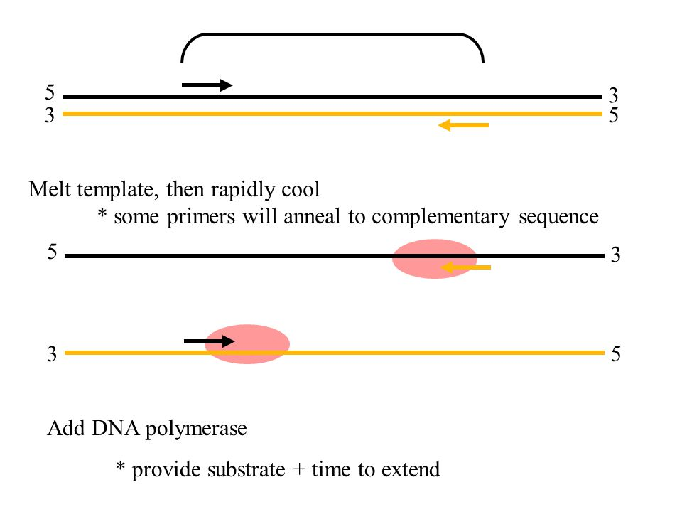 5 3 3 5 5 3 3 5 Melt template, then rapidly cool * some primers will anneal to complementary sequence Add DNA polymerase * provide substrate + time to extend