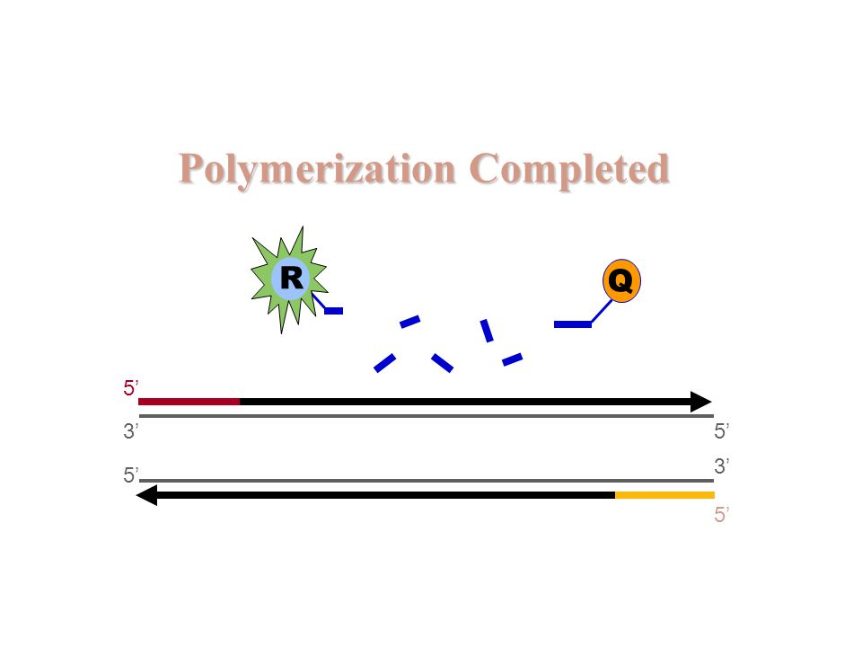 Polymerization Completed 5' 3' 5' 3' 5' R Q