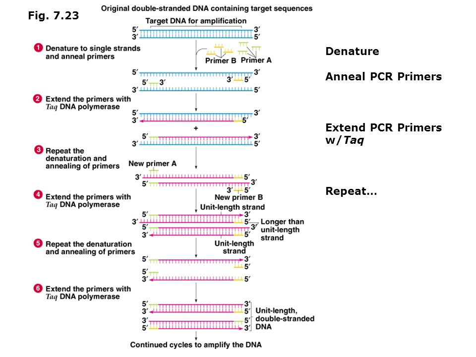 Advantages Disadvantages  RT-PCR is much faster and more sensitive that RNase protection assays  RT-PCR is very sensitive and can detect low levels of mRNA in cells  RT-PCR requires a lot of preparation and must be strictly controlled  Non-competitive RT-PCR may result in false conclusions because experimental results are caused by differences in PCR conditions