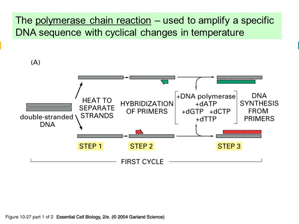 10_27_1_PCR_amplify.jpg The polymerase chain reaction – used to amplify a specific DNA sequence with cyclical changes in temperature