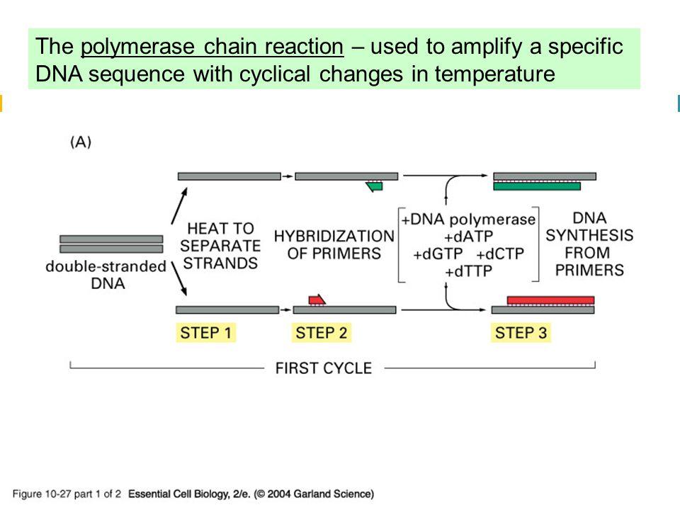 Fluoresces when bound to dsDNA