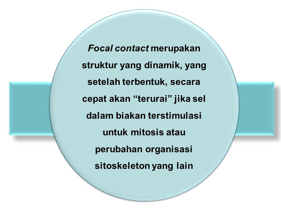 """Focal contact merupakan struktur yang dinamik, yang setelah terbentuk, secara cepat akan """"terurai"""" jika sel dalam biakan terstimulasi untuk mitosis at"""