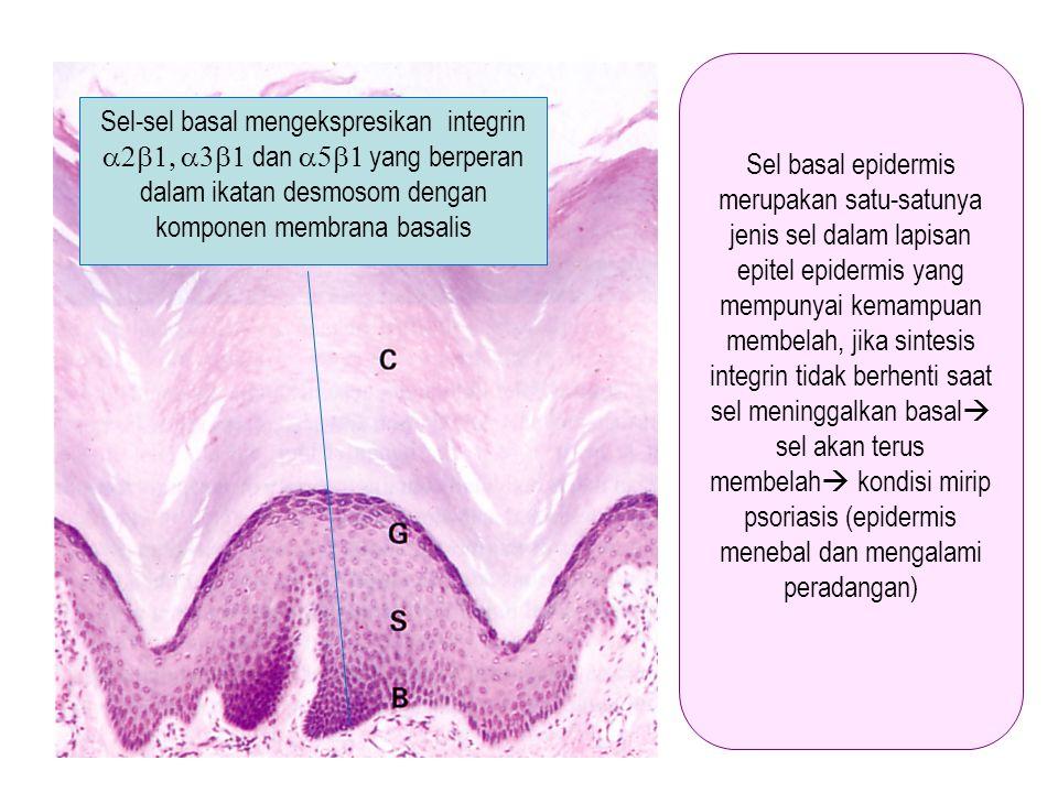 Sel-sel basal mengekspresikan integrin  dan  yang berperan dalam ikatan desmosom dengan komponen membrana basalis Sel basal epidermis me