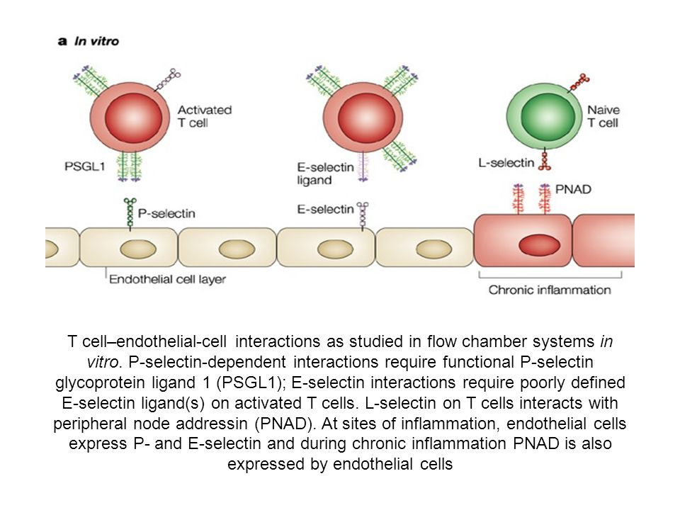 T cell–endothelial-cell interactions as studied in flow chamber systems in vitro.