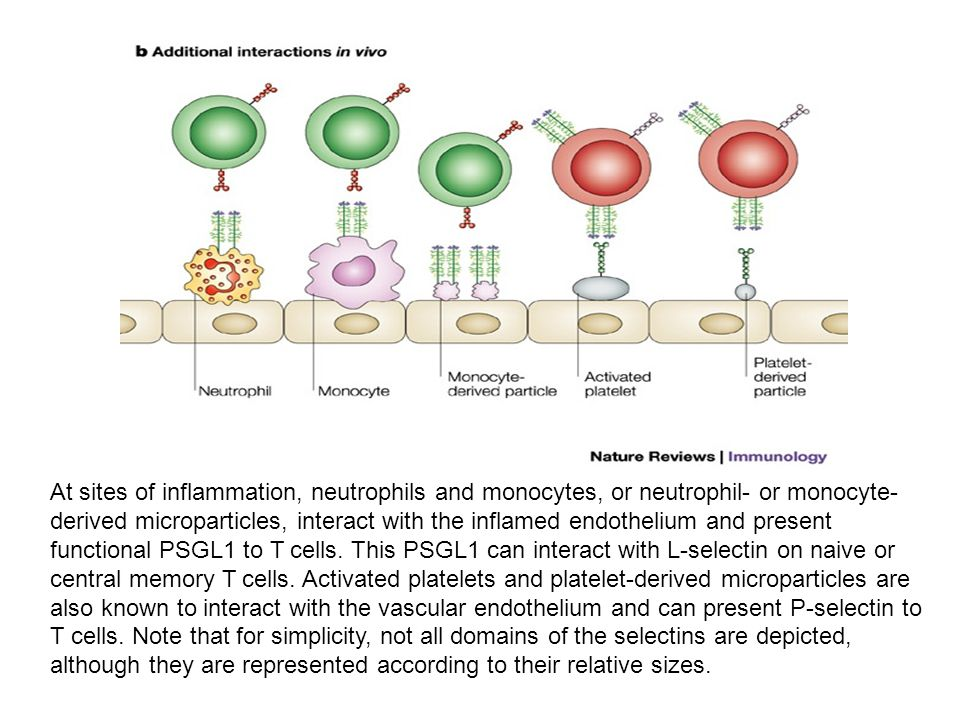 biosel_S1_bio At sites of inflammation, neutrophils and monocytes, or neutrophil- or monocyte- derived microparticles, interact with the inflamed endothelium and present functional PSGL1 to T cells.