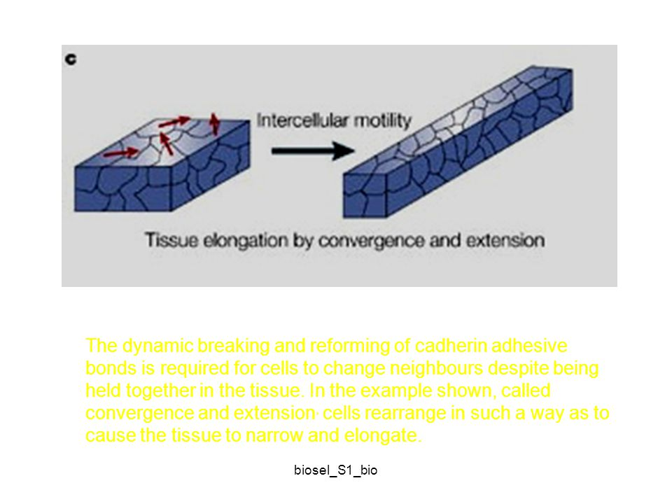 biosel_S1_bio The dynamic breaking and reforming of cadherin adhesive bonds is required for cells to change neighbours despite being held together in the tissue.