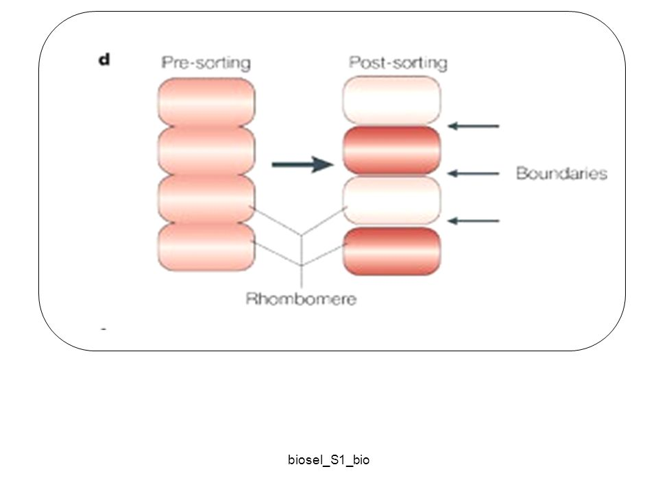 biosel_S1_bio Formation of compartment boundaries. Selective adhesion, which is accomplished through regulation of adhesive strength, creates boundari