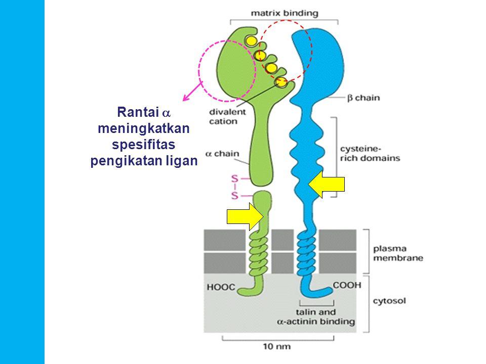 biosel_S1_bio - DITEMUKAN SECARA LUAS DI PERMUKAAN SEL - UMUMNYA DIMER -BAGIAN EKSTRASEL MERUPAKAN STRUKTUR TANDEM BERULANG 5 -BAGIAN INTRASEL BERIKATAN DENGAN PROTEIN SITOPLASMIK CATENIN  CATENIN BERIKATAN DENGAN AKTIN SITOSKELETON -Jenis: 1.