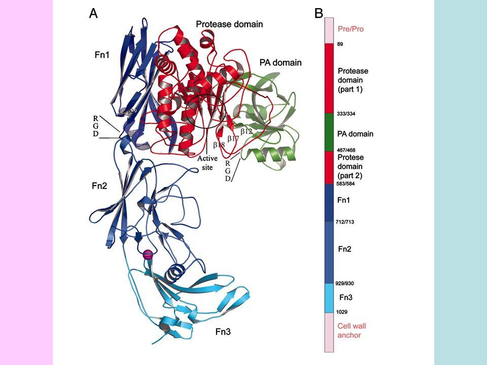 Jenis reseptor DistribusiJenis ligan  Sel T teraktivasi, timosit, endotel, fibroblas, epitel, astrosit Fibronektin  Sel T dan B teraktivasi, sel T memori, timosit, fibroblas, epitel, platelets, astrosit, endotel Fibronektin    b   Sel T dan B teraktivasi, sel T memori, timosit, fibroblas, epitel, platelets, endotel Fibronektin Vitronektin Fibrinogen Von Willebbrand factor vv Fibroblas, monosit, makrofag, epitel, sel tumor Vitronektin BEBERAPA JENIS RESEPTOR INTEGRIN DAN JENIS LIGAN YANG DIKENAL MELALUI SEKUENS RGD