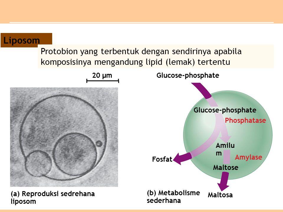 (a) Reproduksi sedrehana liposom (b) Metabolisme sederhana Fosfat Maltosa Phosphatase Maltose Amylase Amilu m Glucose-phosphate 20 µm Liposom Protobion yang terbentuk dengan sendirinya apabila komposisinya mengandung lipid (lemak) tertentu