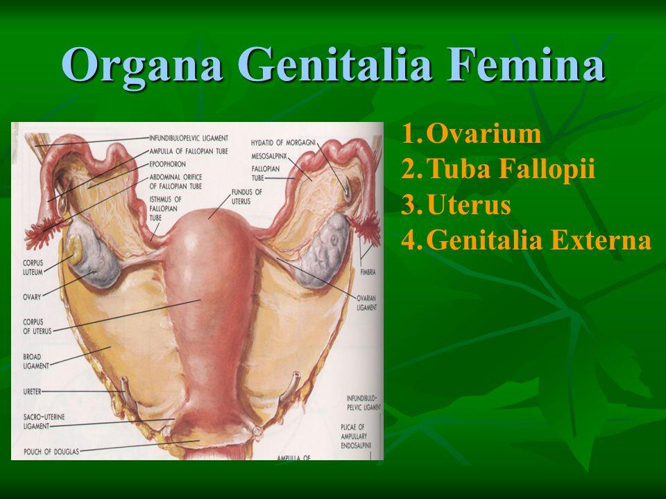 OVARIUM (1) Fungsi : Fungsi : Penghasil Oocyte Penghasil Oocyte Kelenjar endokrin Kelenjar endokrin Homolog dengan Testis Homolog dengan Testis Bagian : Bagian : Mesovarium Mesovarium Pars liberae Pars liberae Hilus ovarii Hilus ovarii