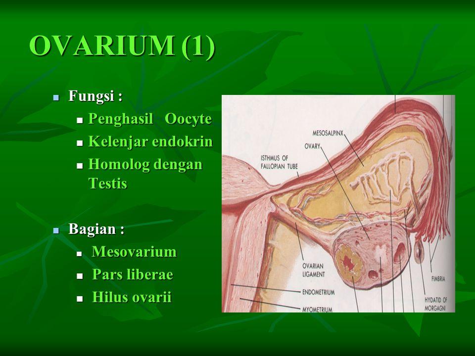 Ovarium (2) Ligamen : Ligamen : mesovarium mesovarium lig.