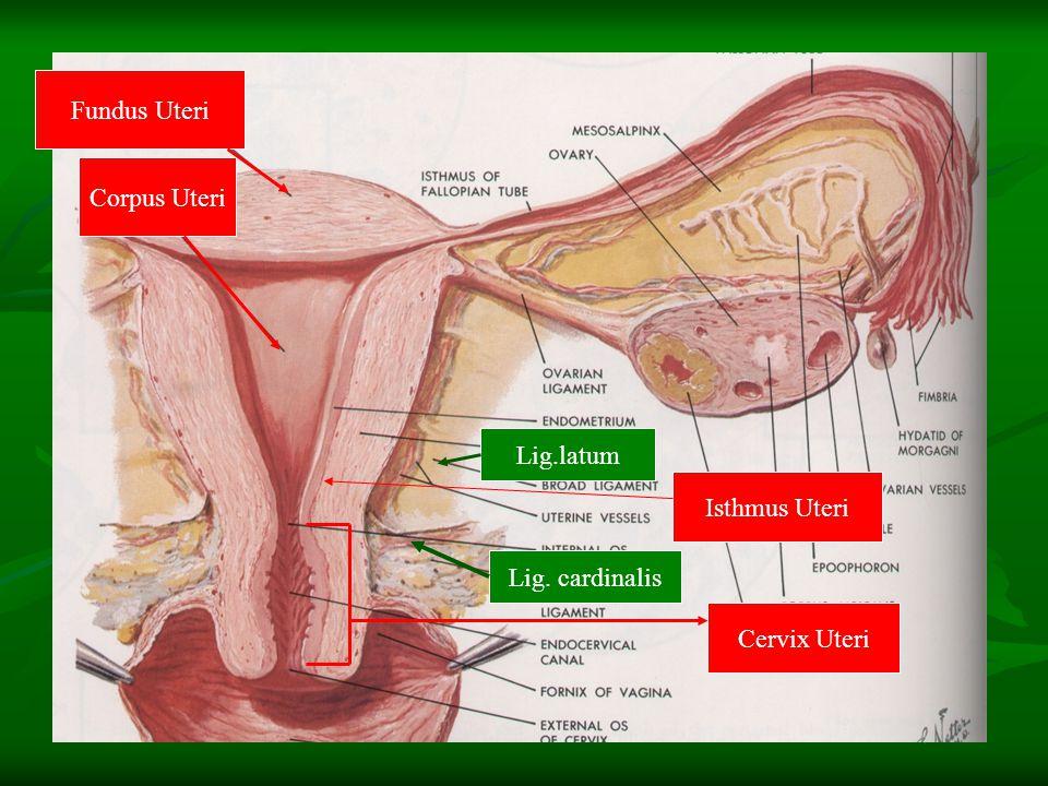 Uterus (3) : Fiksasi & Hubungan dgn Peritoneum Fiksasi : Fiksasi : Caudal : Vagina Caudal : Vagina Ventral : Vesica urinaria Ventral : Vesica urinaria Dorsal : Rectum Dorsal : Rectum Dasar : Diaphragma pelvis Dasar : Diaphragma pelvis Refleksi Peritoneum : Refleksi Peritoneum : Excavatio uterovesicalis  Cavum Prevesicale Retzii Excavatio uterovesicalis  Cavum Prevesicale Retzii Excavatio rectouterina  Cavum Douglasi Excavatio rectouterina  Cavum Douglasi Ligamen-2 : Lig.