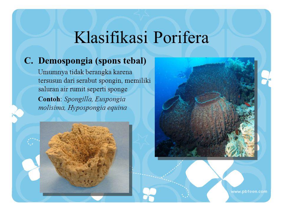 Klasifikasi Porifera C.Demospongia (spons tebal) Umumnya tidak berangka karena tersusun dari serabut spongin, memiliki saluran air rumit seperti spong