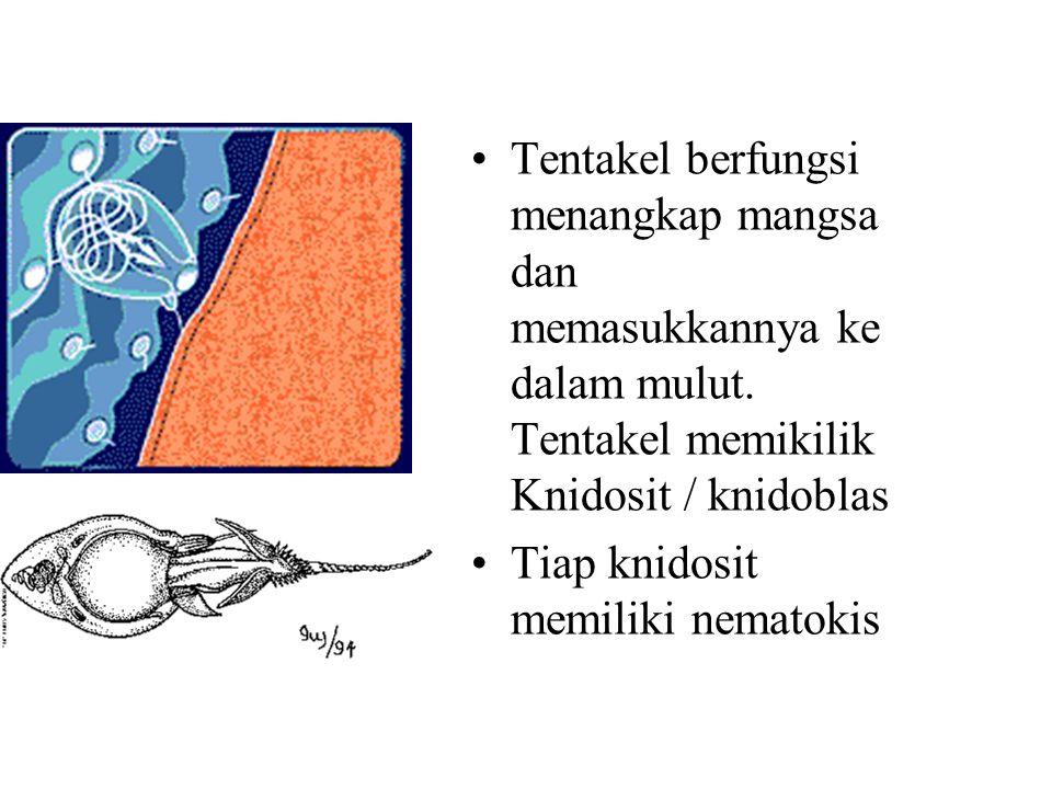 Tentakel berfungsi menangkap mangsa dan memasukkannya ke dalam mulut. Tentakel memikilik Knidosit / knidoblas Tiap knidosit memiliki nematokis