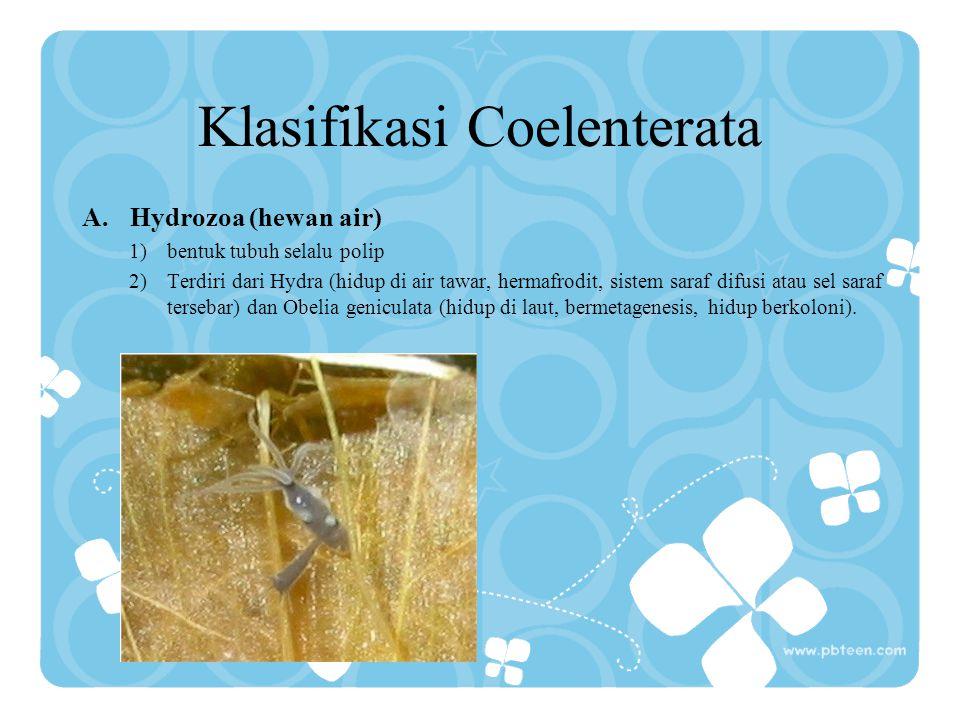 Klasifikasi Coelenterata A.Hydrozoa (hewan air) 1)bentuk tubuh selalu polip 2)Terdiri dari Hydra (hidup di air tawar, hermafrodit, sistem saraf difusi