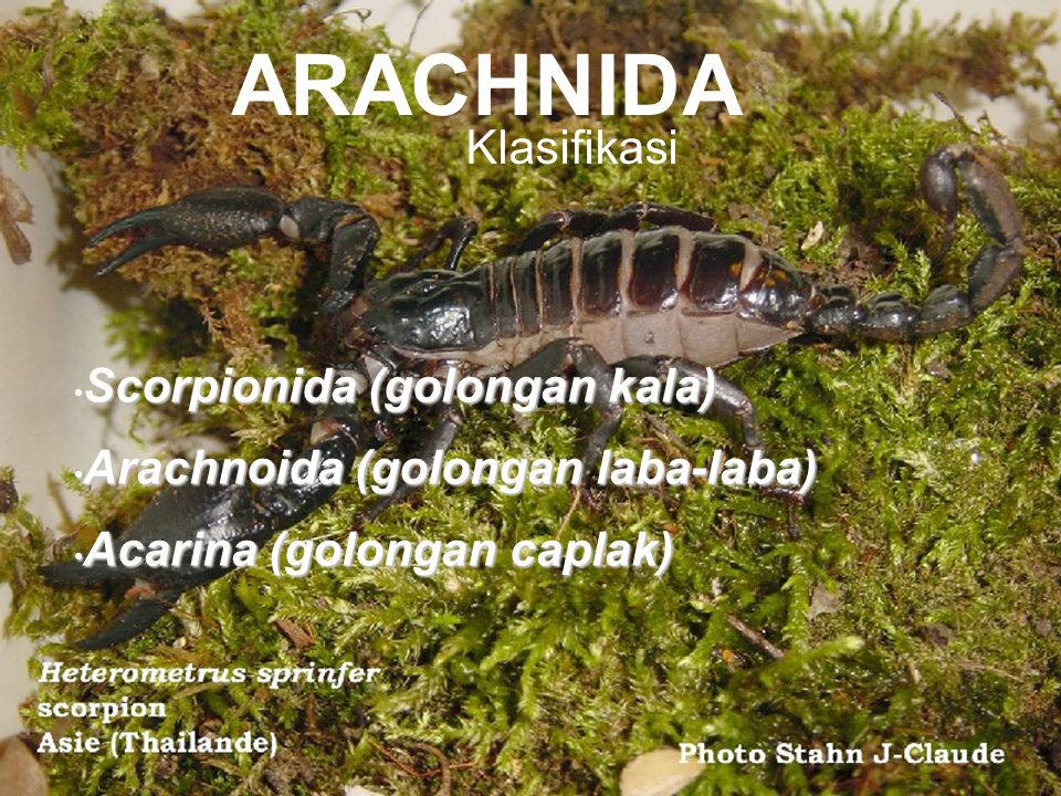 Scorpionida (golongan kala) Scorpionida (golongan kala) Arachnoida (golongan laba-laba) Arachnoida (golongan laba-laba) Acarina (golongan caplak) Acar