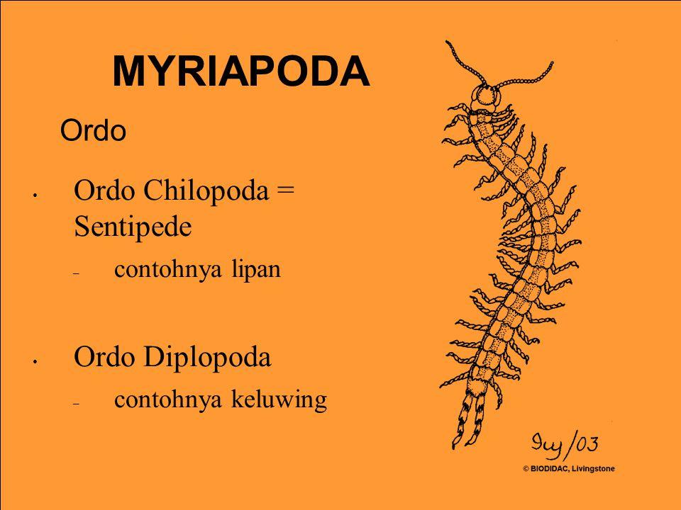 Ordo Chilopoda = Sentipede – contohnya lipan Ordo Diplopoda – contohnya keluwing MYRIAPODA Ordo