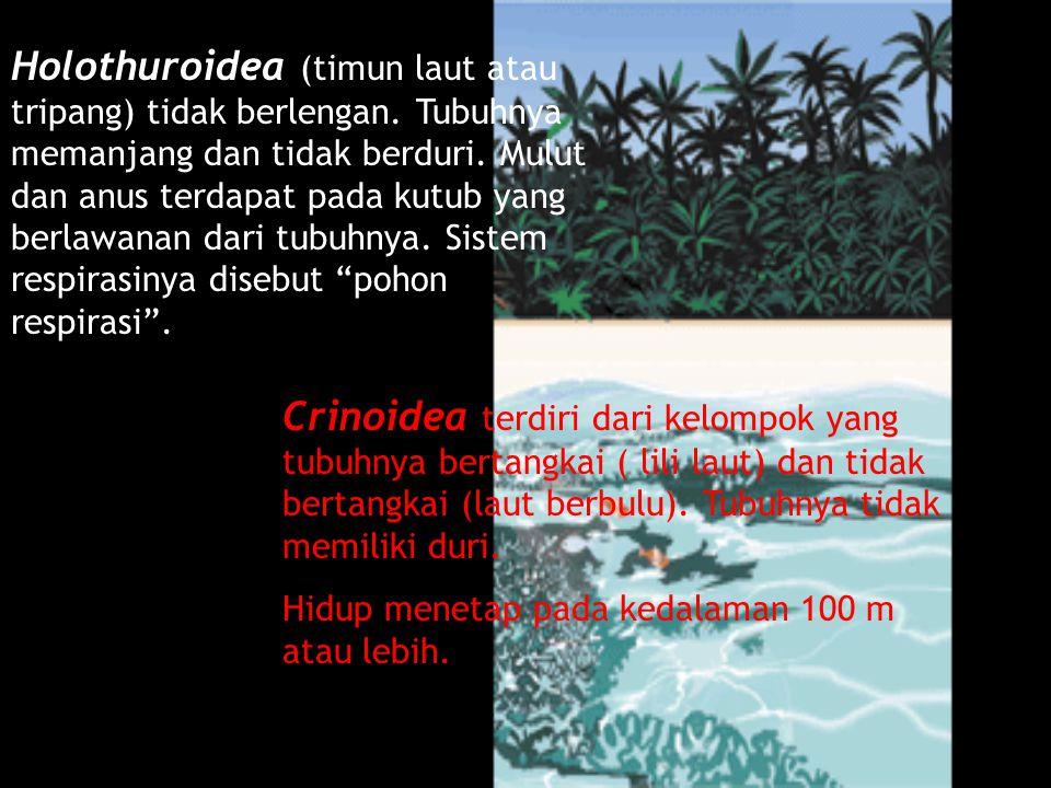 Holothuroidea (timun laut atau tripang) tidak berlengan. Tubuhnya memanjang dan tidak berduri. Mulut dan anus terdapat pada kutub yang berlawanan dari