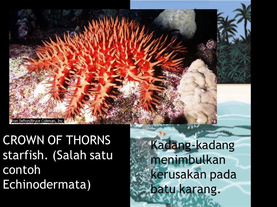 Kadang-kadang menimbulkan kerusakan pada batu karang. CROWN OF THORNS starfish. (Salah satu contoh Echinodermata) Bintang Duri
