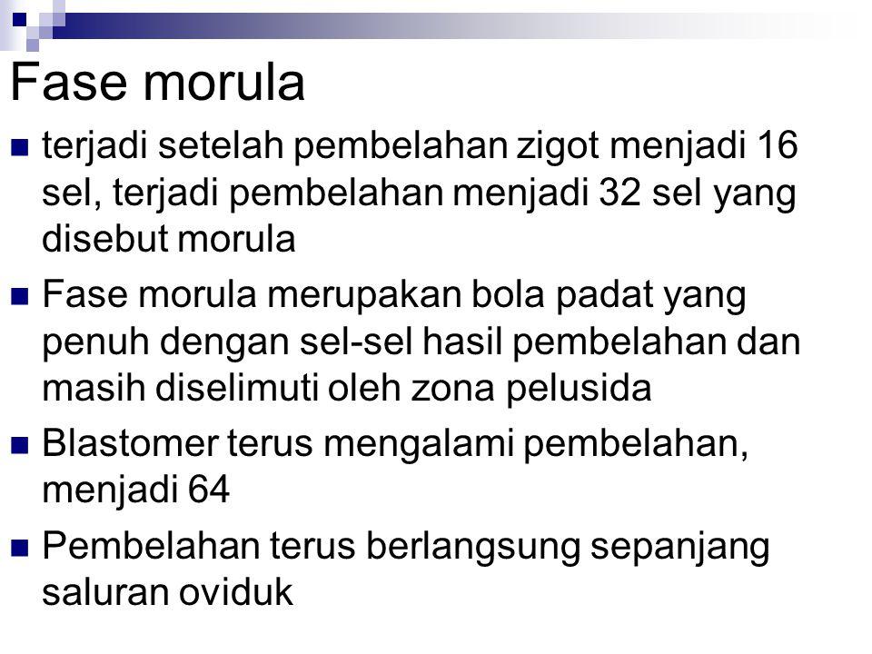 Fase morula terjadi setelah pembelahan zigot menjadi 16 sel, terjadi pembelahan menjadi 32 sel yang disebut morula Fase morula merupakan bola padat ya