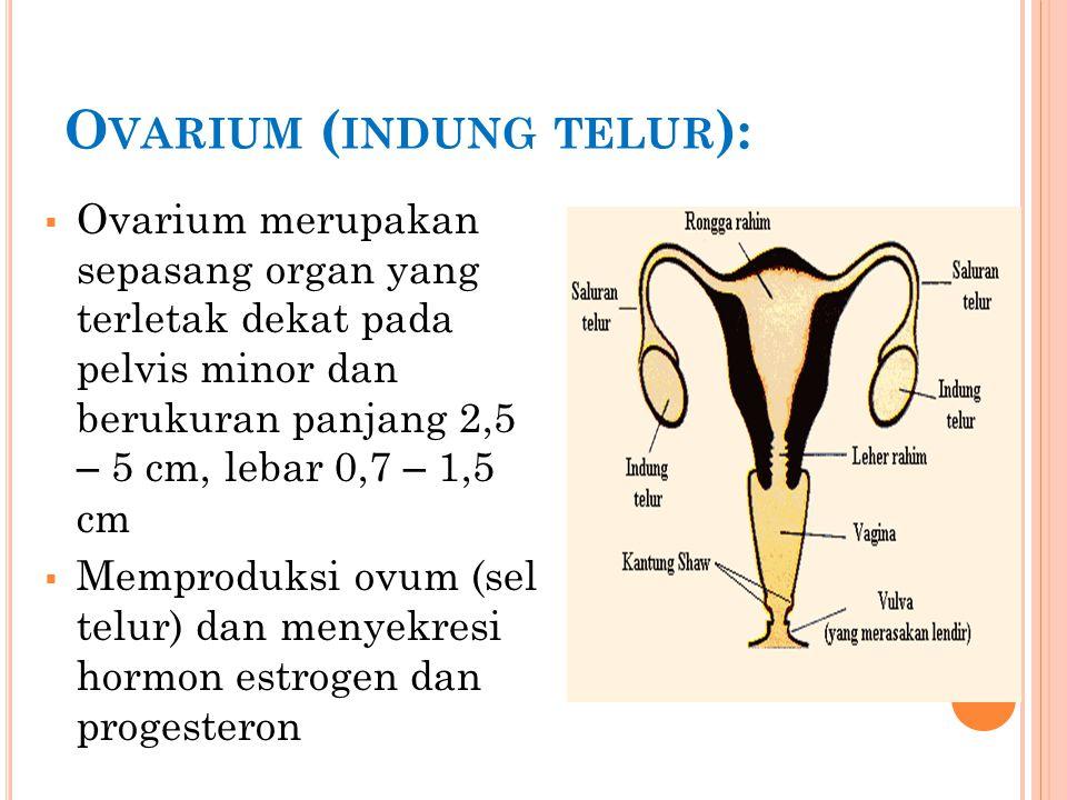 O VIDUK / TUBA F ALLOPII ( SALURAN TELUR ):  Berfungsi menyalurkan sel telur ke uterus (rahim) dengan gerakan peristaltik dan dibantu oleh gerakan silia pada dindingnya  Fertilisasi terjadi pada tuba uterina  tuba berukuran 7 – 14 cm