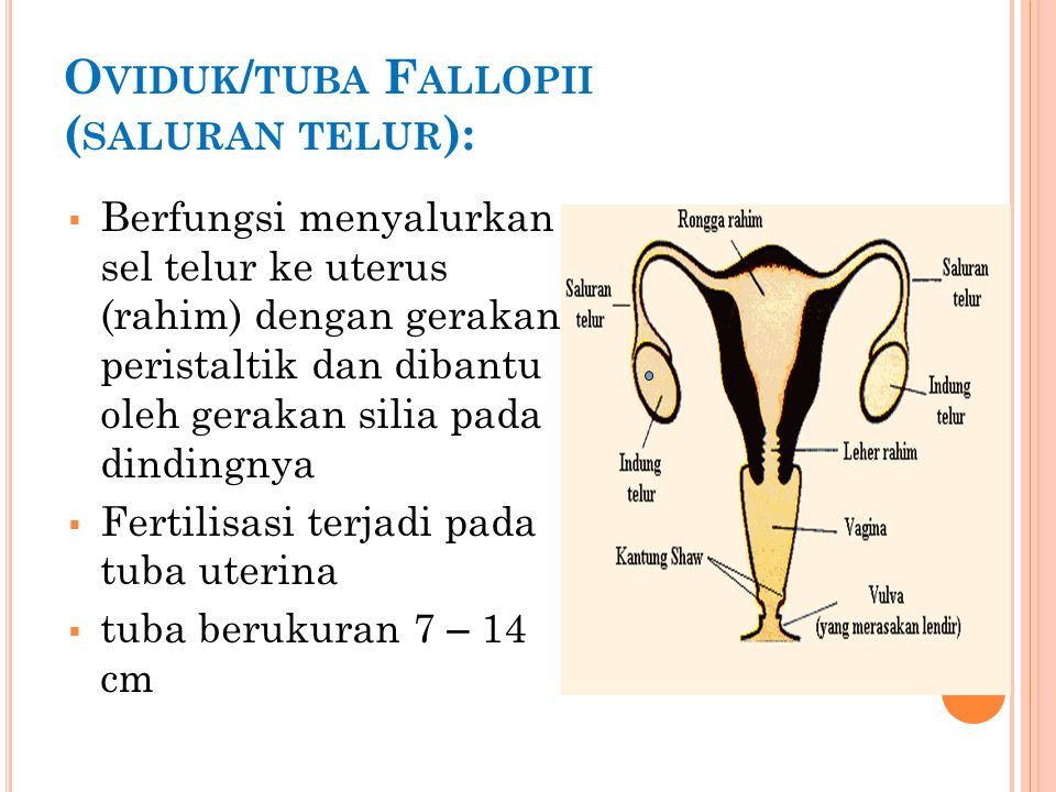 Kehamilan (gestasi) (3) Bagian plasenta, cairan amnion, dan tali pusar.