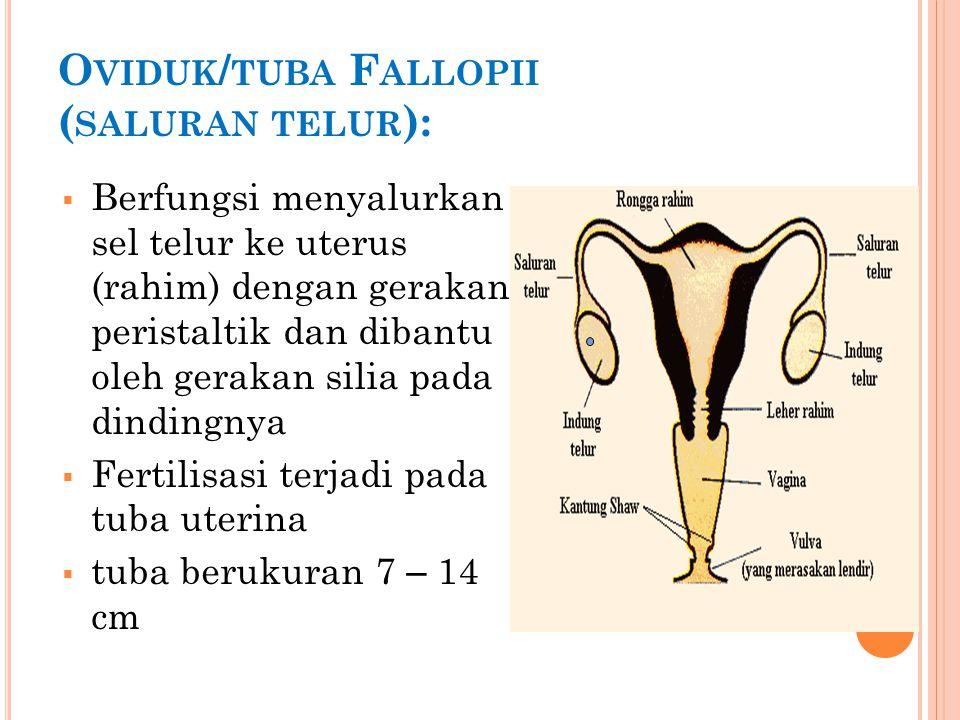U TERUS ( RAHIM )  Tempat berkembangnya embrio.