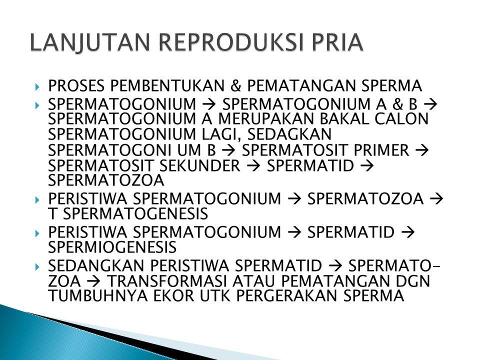  PROSES PEMBENTUKAN & PEMATANGAN SPERMA  SPERMATOGONIUM  SPERMATOGONIUM A & B  SPERMATOGONIUM A MERUPAKAN BAKAL CALON SPERMATOGONIUM LAGI, SEDAGKAN SPERMATOGONI UM B  SPERMATOSIT PRIMER  SPERMATOSIT SEKUNDER  SPERMATID  SPERMATOZOA  PERISTIWA SPERMATOGONIUM  SPERMATOZOA  T SPERMATOGENESIS  PERISTIWA SPERMATOGONIUM  SPERMATID  SPERMIOGENESIS  SEDANGKAN PERISTIWA SPERMATID  SPERMATO- ZOA  TRANSFORMASI ATAU PEMATANGAN DGN TUMBUHNYA EKOR UTK PERGERAKAN SPERMA