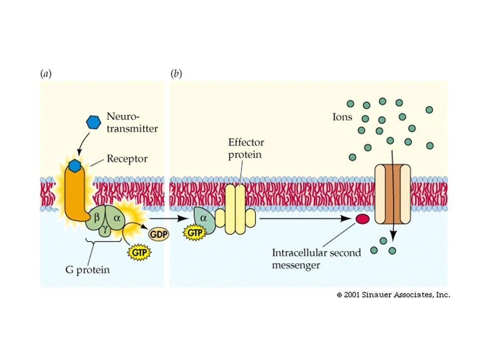 Hormon Peptida Hormon Peptida tidak dapat melintasi membran sel (lipid bilayers) dan mereka disebut water soluble.