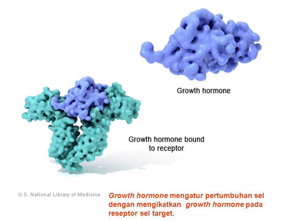 Growth hormone mengatur pertumbuhan sel dengan mengikatkan growth hormone pada reseptor sel target.